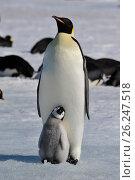 Купить «Emperor Penguins with chicks», фото № 26247518, снято 31 октября 2010 г. (c) Vladimir / Фотобанк Лори