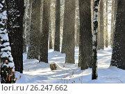 Снежная пыль в зимнем лесу. Тропинка. Освещено солнцем. Стоковое фото, фотограф Галимова Надежда Александровна / Фотобанк Лори
