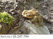 Купить «Обыкновенная серая жаба (лат. Bufo bufo)», фото № 26247794, снято 1 мая 2017 г. (c) Елена Коромыслова / Фотобанк Лори