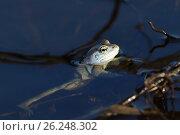Купить «Остромордая лягушка, или болотная лягушка (лат. Rana arvalis) на поверхности воды крупным планом», фото № 26248302, снято 20 апреля 2017 г. (c) Григорий Писоцкий / Фотобанк Лори