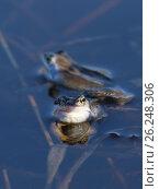 Остромордая лягушка, или болотная лягушка (лат. Rana arvalis) весной в период размножения. Стоковое фото, фотограф Григорий Писоцкий / Фотобанк Лори
