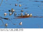 Купить «Остромордая лягушка, или болотная лягушка (лат. Rana arvalis). Скопление лягушек в брачный период весной», фото № 26248310, снято 20 апреля 2017 г. (c) Григорий Писоцкий / Фотобанк Лори