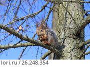 Купить «Рыжая белка на ветке лиственницы», фото № 26248354, снято 4 мая 2017 г. (c) Григорий Писоцкий / Фотобанк Лори