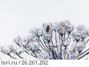 Купить «Cow parsnip covered ice and snow after a icy rain», фото № 26261202, снято 19 ноября 2017 г. (c) Mikhail Starodubov / Фотобанк Лори