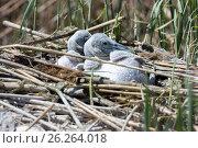 Купить «Птенцы пеликана кудрявого в гнезде (Pelecanus crispus)», фото № 26264018, снято 25 апреля 2017 г. (c) Ирина Яровая / Фотобанк Лори