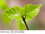 Купить «Молодые весенние листья березы с каплями воды», фото № 26312662, снято 6 мая 2017 г. (c) Илья Бесхлебный / Фотобанк Лори