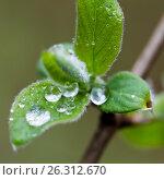 Купить «Молодые весенние листья с каплями воды на фоне леса», фото № 26312670, снято 6 мая 2017 г. (c) Илья Бесхлебный / Фотобанк Лори