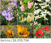 Collage of first spring flowers. Стоковое фото, фотограф Елена Ковалева / Фотобанк Лори