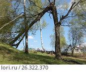 Дерево поваленное грозой. Дмитров (2017 год). Стоковое фото, фотограф Юрий Леденцов / Фотобанк Лори