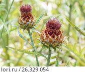 Купить «Цветы артишока», фото № 26329054, снято 5 августа 2015 г. (c) Дмитрий Тищенко / Фотобанк Лори