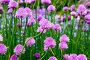 Цветущий лук скорода или шнитт-лук  латинское наименование Allium schoenoprasum, фото № 26330774, снято 17 мая 2017 г. (c) Татьяна Кахилл / Фотобанк Лори