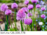 Цветущий лук скорода или шнитт-лук  латинское наименование Allium schoenoprasum. Стоковое фото, фотограф Татьяна Кахилл / Фотобанк Лори