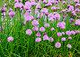 Цветущий лук скорода или шнитт-лук  латинское наименование Allium schoenoprasum, фото № 26330782, снято 17 мая 2017 г. (c) Татьяна Кахилл / Фотобанк Лори