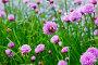 Цветущий лук скорода или шнитт-лук  латинское наименование Allium schoenoprasum, фото № 26330794, снято 17 мая 2017 г. (c) Татьяна Кахилл / Фотобанк Лори