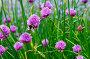 Цветущий лук скорода или шнитт-лук  латинское наименование Allium schoenoprasum, фото № 26330818, снято 17 мая 2017 г. (c) Татьяна Кахилл / Фотобанк Лори