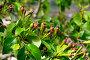 Молодые плоды груши, фото № 26330866, снято 17 мая 2017 г. (c) Татьяна Кахилл / Фотобанк Лори