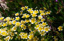 Лимнантовые - Poached egg plant или Лимнантес Дугласа цветы, фото № 26330942, снято 17 мая 2017 г. (c) Татьяна Кахилл / Фотобанк Лори