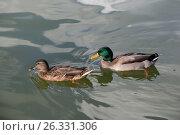 Утки парами в зеленом пруду. Стоковое фото, фотограф Daria Trefilova / Фотобанк Лори