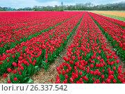 Купить «Red and crimson flower field outdoors», фото № 26337542, снято 26 апреля 2015 г. (c) Дмитрий Калиновский / Фотобанк Лори