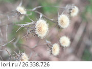 Сухие цветы Расторопши. Стоковое фото, фотограф Иманова Ирина / Фотобанк Лори