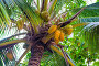 Close-up of coconuts on palm tree view from below, фото № 26339894, снято 5 ноября 2016 г. (c) Константин Лабунский / Фотобанк Лори