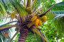 Close-up of coconuts on palm tree view from below, фото № 26339894, снято 5 ноября 2016 г. (c) Константин Лабунский / Фотобанк Лори