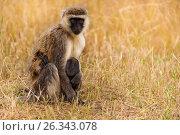 Купить «Vervet monkey feeding baby in dry grass of savanna», фото № 26343078, снято 19 августа 2015 г. (c) Сергей Новиков / Фотобанк Лори