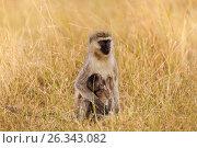 Купить «Portrait of female vervet monkey suckling her baby», фото № 26343082, снято 19 августа 2015 г. (c) Сергей Новиков / Фотобанк Лори