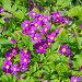 Примула Юлии (лат. Primula juliae), фото № 26343214, снято 19 мая 2017 г. (c) Елена Коромыслова / Фотобанк Лори