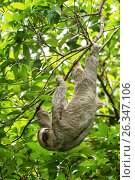Купить «The Brown-throated Sloth, Bradypus variegatus, is a species of Three-toed Sloth found in Central and South America. Shown here in Costa Rica. They live...», фото № 26347106, снято 28 июня 2011 г. (c) age Fotostock / Фотобанк Лори