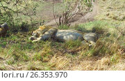 Купить «male lions sleeping in savanna at africa», видеоролик № 26353970, снято 15 апреля 2017 г. (c) Syda Productions / Фотобанк Лори