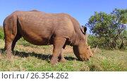 Купить «rhino grazing in savanna at africa», видеоролик № 26354262, снято 15 апреля 2017 г. (c) Syda Productions / Фотобанк Лори