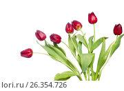 Red tulips on white, фото № 26354726, снято 11 марта 2012 г. (c) Tatjana Romanova / Фотобанк Лори