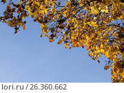Autumn yellow leafs on blue sky, фото № 26360662, снято 12 октября 2013 г. (c) Tatjana Romanova / Фотобанк Лори
