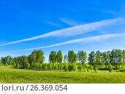 Купить «Листопадное дерево берёза (лат. Betula). Весенний пейзаж с молодой берёзовой рощей. Новосибирская область, Сибирь, Россия», фото № 26369054, снято 21 мая 2017 г. (c) Евгений Мухортов / Фотобанк Лори