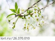 Купить «Вишня», фото № 26370010, снято 6 мая 2016 г. (c) Алёшина Оксана / Фотобанк Лори