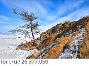 Купить «Лиственница на берегу Байкала. Ольхон. Март», фото № 26377050, снято 7 марта 2017 г. (c) Виктор Никитин / Фотобанк Лори