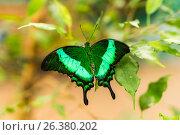 Изумрудная бабочка. Стоковое фото, фотограф Вячеслав Сыпченко / Фотобанк Лори