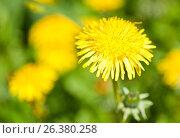 Купить «Желтые одуванчики», фото № 26380258, снято 27 мая 2017 г. (c) Екатерина Овсянникова / Фотобанк Лори