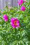 Лекарственное растение Марьин корень или пион уклоняющийся (лат. Paeonia anomala ). Цветущий куст у деревянного забора на дачном участке, фото № 26389658, снято 28 мая 2017 г. (c) Евгений Мухортов / Фотобанк Лори