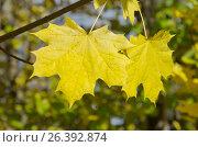 Купить «Желтые кленовые листья крупным планом», эксклюзивное фото № 26392874, снято 1 октября 2016 г. (c) Елена Коромыслова / Фотобанк Лори