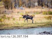 Купить «Bull moose, Grand Teton National Park, Wyoming, USA.», фото № 26397194, снято 29 сентября 2016 г. (c) age Fotostock / Фотобанк Лори