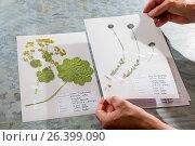 Sheep's-bit, sheep's scabious (Jasione montana), ready herbarium sheet, Germany. Стоковое фото, фотограф F. Hecker / age Fotostock / Фотобанк Лори