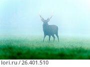 Купить «Sika deer, Tame sika deer, Tame deer (Cervus nippon), Male, in Rutting Season with Morning Mist, Germany», фото № 26401510, снято 3 октября 2014 г. (c) age Fotostock / Фотобанк Лори