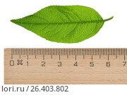Купить «European spindle-tree (Euonymus europaea, Euonymus europaeus), singel leaf, cutout, with ruler», фото № 26403802, снято 24 мая 2016 г. (c) age Fotostock / Фотобанк Лори