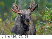 Купить «Elk, European moose (Alces alces alces), eating moose with newly formed antler in the scrub, Sweden, Vaestergoetland», фото № 26407458, снято 14 сентября 2016 г. (c) age Fotostock / Фотобанк Лори