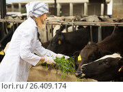 Купить «Veterinary technician working with cows in livestock farm», фото № 26409174, снято 19 марта 2016 г. (c) Татьяна Яцевич / Фотобанк Лори