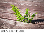 Купить «Fresh green fern grow through wooden floor», фото № 26411218, снято 4 июня 2016 г. (c) EugeneSergeev / Фотобанк Лори