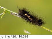 Larch Tussock Moth (Gynaephora selenitica), caterpillar, Germany. Стоковое фото, фотограф F. Hecker / age Fotostock / Фотобанк Лори