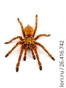 Orange baboon tarantula, Mombasa golden starburst tarantula (Pterinochilus murinus, Pterinochilus mamillatus), cut-out, Kenya. Стоковое фото, фотограф B. Trapp / age Fotostock / Фотобанк Лори